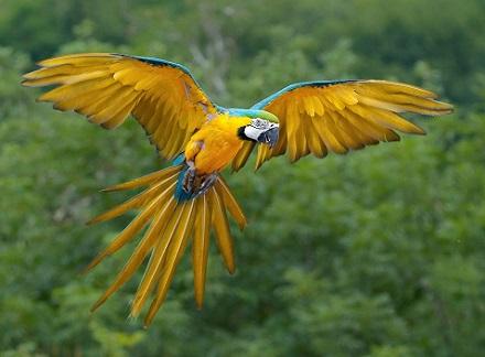 Papegaai Amazone