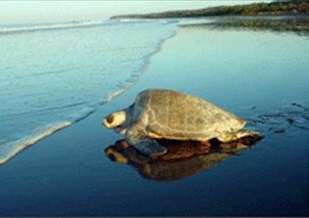 Eén van de grootste attracties van Costa Rica is het eieren leggen van de schildpadden.