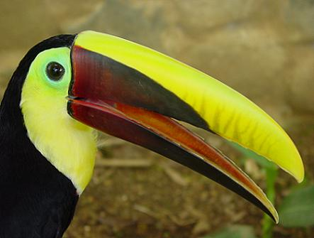 Tucan in Costa Rica