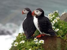 Er komen ongeveer 300 vogelsoorten op IJsland voor, waarvan het grootste deel trekvogel is. De papegaaiduiker (Fratercula arctica) is een opvallende vogel uit de familie van alken.
