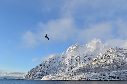 Sea eagle, de Lofoten, Noorwegen