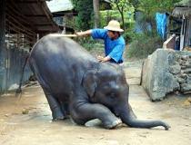 Een jonge olifant met zijn trainer