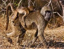 Chacma Baboon in het Kruger National Park, Zuid-Afrika.