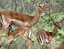 De impala is de bekendste antilope in Zuidelijk Afrika.