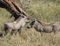 Wrattenzwijnen, warthogs in Serengeti