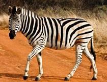 Een zebra in een game reserve vlakbij Pretoria, Zuid-Afrika